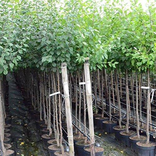 Pflaumenbaum The Czar robust Halbstamm 170-200 cm 9,5 Liter Topf auf St.Jul.A