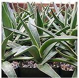 1 Starter Plant of Agave Impressa