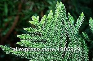 50 semillas de Araucaria las plantas al aire libre refrescante Bonsai Semillas de plantas Semillas follaje de los árboles