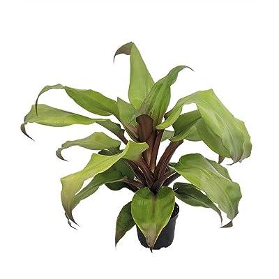 "AchmadAnam - 6"" Pot - Rare Tayoensis Vase Plant - Great Houseplant - Aechmea - Bromeliad, Plant, Cacti, Succulent : Garden & Outdoor"
