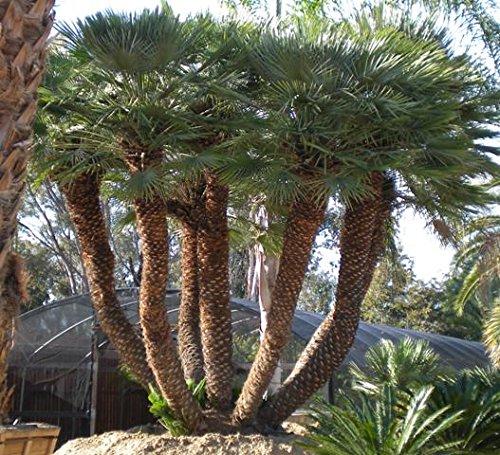 10 Mediterranean Fan Palm seeds, ( Chamaerops humilis - Mediterranean Fan Palm