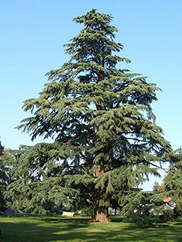 Cedrus Deodara - Diyar Tree - Himalyan Cedar - 50 Seeds