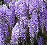 Blue wisteria vine creeper flowering could be a shrub too LIVE PLANT seedling
