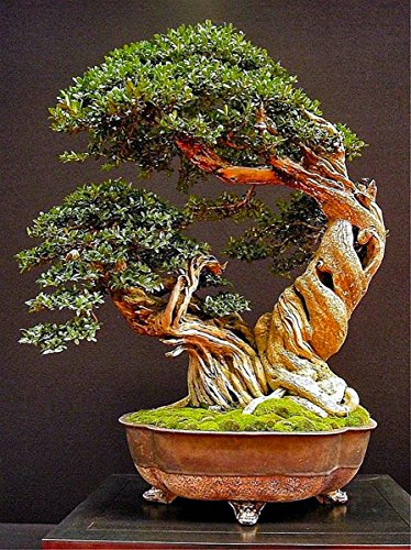 Miniature Bonsai - Olive Tree - 5 Year Old Plant by Miniature Bonsai (Image #5)