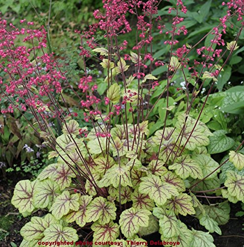 (heuchera Circus Yellow red Vein villosa Coral Bells 3