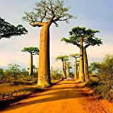 Wintefei 10Pcs Adansonia Digitata Baobab Tree Seeds Exotic Outdoor Plant High Germination