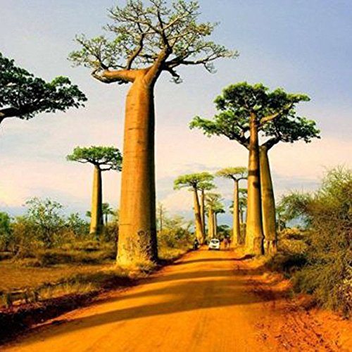 Mggsndi 10Pcs Adansonia Digitata Baobab Tree Seeds Exotic Outdoor Plant High Germination - Heirloom Non GMO - Seeds for Planting an Indoor and Outdoor Garden