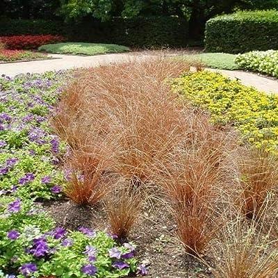 Cutdek Carex Red Rooster Ornamental Grass Seeds (Carex buchananii) 40+Seeds : Garden & Outdoor