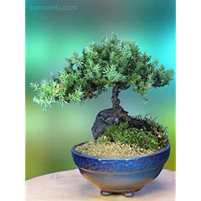 5+ Year Old Juniper Bonsai Tree in Setku Bowl - Traditional Metallic Finish : Garden & Outdoor