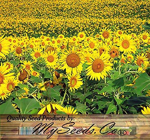 10 LB (92,000+ Seeds) PEREDOVIK Sunflower Seeds - Game Birds & Deer Favorite - Rich in Oil A+ for PLOT FOOD WILDLIFE - Non-GMO Seeds By MySeeds.Co (10 LB Peredovik Sunflower) by MySeeds.Co - Flower Seeds by the LB (Image #3)