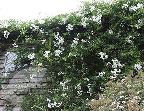 """Perfect Plants""""Solanum Laxum Album Climber"""" Plant in 19/20 cm Pot with 3-Inch Cane"""