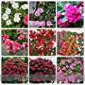 (9 Mixed *Ambizu*) Mix Impatiens Walleriana 9 Colors Busy Lizzie Balsam Perennial Flower Seeds, Professional Pack, 20 Seeds
