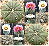 Astrophytum Asterias - Sand Dollar Cactus, Sea Urchin Cactus - FRESH SEEDS - By MySeeds.Co (0010 Seeds - 10 Seeds - Pkt. Size)