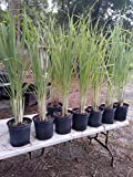 Cheap Lemongrass 6 Live Plants Each 4In to 7In Tall fully rooted