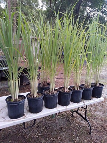 Lemongrass 6 Live Plants Each 4In to 7In Tall fully rooted by MW103 (Image #1)