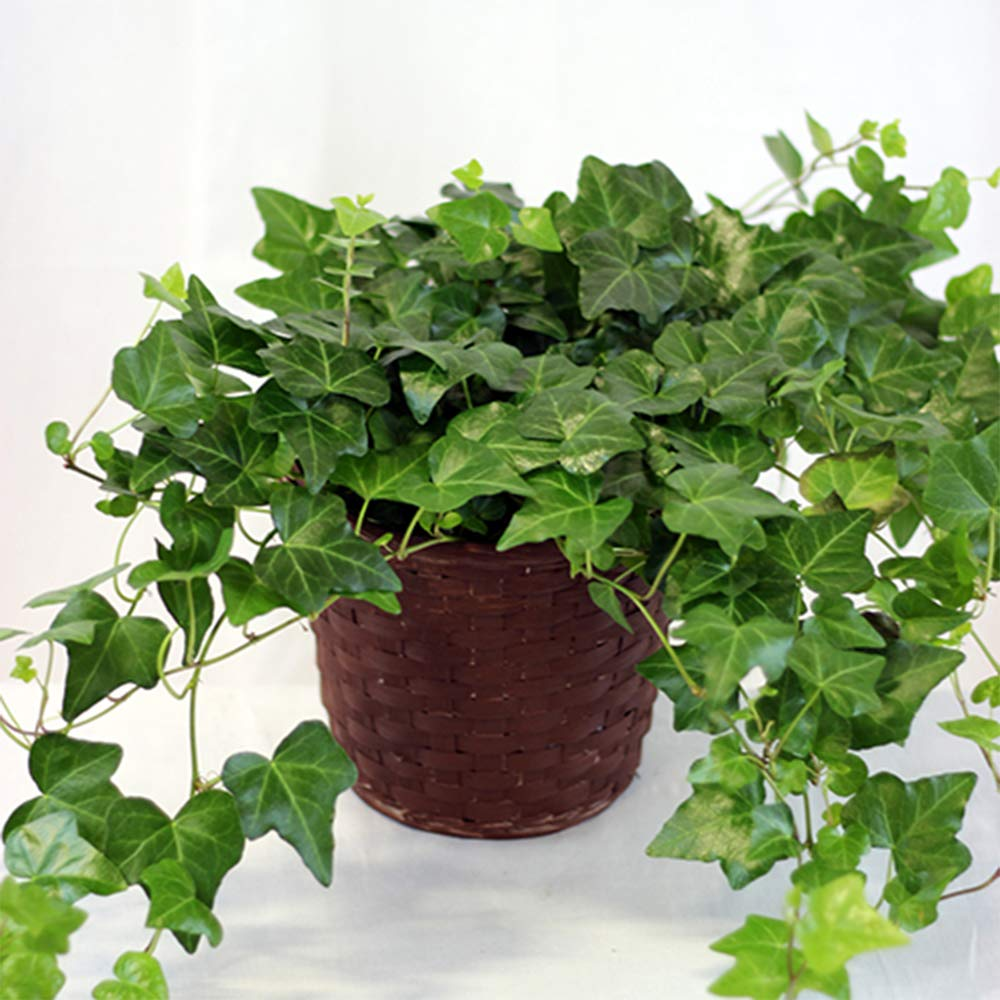 AMERICAN PLANT EXCHANGE Easy Care English Ivy Large Leaf Trailing Vine Live Plant 6'' 1 Gallon Top Indoor Air Purifier! by AMERICAN PLANT EXCHANGE (Image #2)