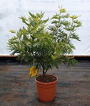 Acacia Dealbata Gaulois Astiermimosa Bush 5l Pot 65 70cm High