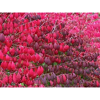 Burning Bush, Euonymus alatus, Seeds (Fall Color, Hardy, Hedge) (60) : Garden & Outdoor
