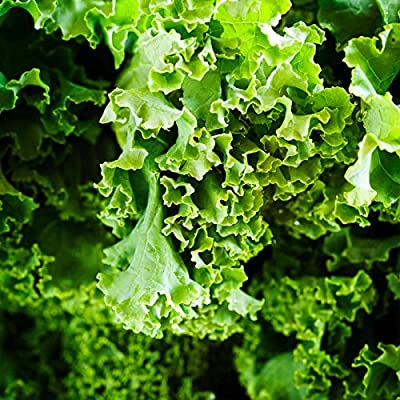 Kale Garden Seeds - Dwarf Siberian - Non-GMO, Heirloom Vegetable Gardening, Sprouting & Microgreens Seed