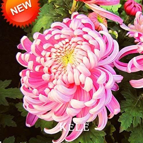 Sale!100 pcs/Bag Rare Bicolor Pink Yellow Chrysanthemum Seeds morifolium Flores DIY Gardening Flower Potted Plant, 1o5giz ()