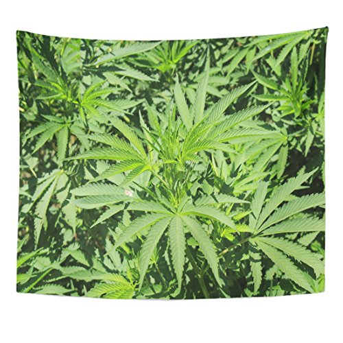 VaryHome Tapestry Real Marijuana Plant Cannabis Marihuana at Granada Botanical Garden Spain Its Latin Name Is Sativa Native Home Decor Wall Hanging for Living Room Bedroom Dorm 50x60 Inches by VaryHome
