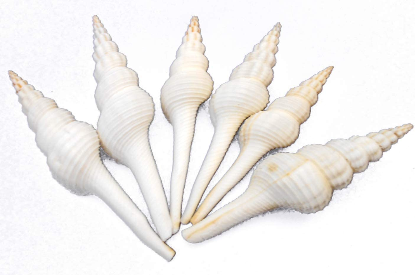 "12 3/"" Medium Center Cut Spindle Shells Beach Decor Craft US Seller  Free Ship!"
