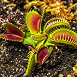 Adult Sized - Indoor Venus Fly Trap - Fastest