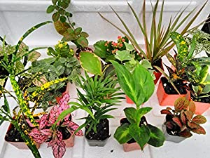Terrarium & Fairy Garden Plants - 8 Plants in 2.5 (Is Approximately 4 to 6 Inches Height of the Plant)