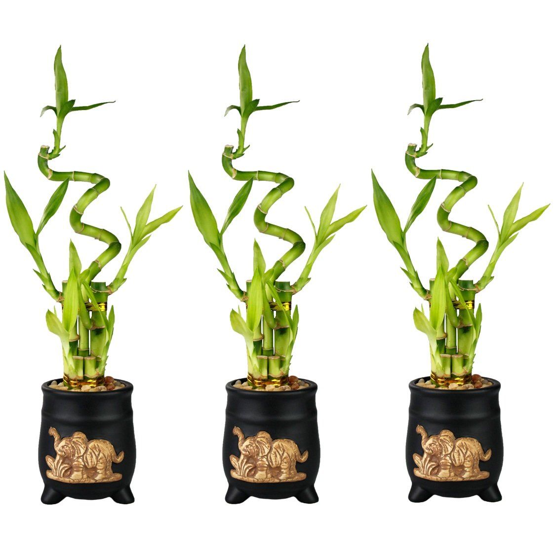 Set of Lucky Bamboo Five Stalk with Spiral Arrangements with Black Ceramic Elephant Standing Planters (Set of 3)