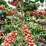 Coffea Arabica Seeds (Coffea Arabica Nana) Grow Your Own Coffee Tree, 20 Seeds