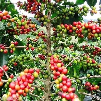 Coffea Arabica Seeds (Coffea Arabica Nana) Come Your Own Coffee Tree, 20 Seeds