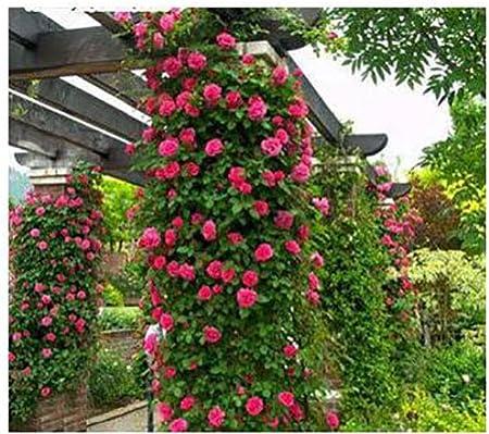 100PC MIX Climbing Roses Seeds Chinese Flower Seeds Perennial Garden Roses
