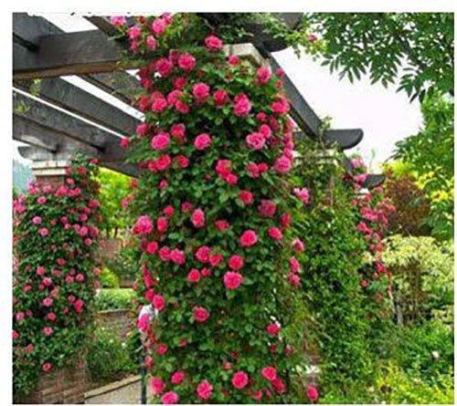 Polyantha Rose - The Best Seller 200 seeds Rosa,Climbing Plants , Polyantha rose, Chinese Flower Seeds ,Climbing Roses Seeds.