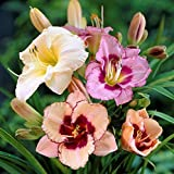 Daylily Bumper Crop Mix - 10 Bare Root Daylilies - Mixed Colors | Ships from Easy to Grow