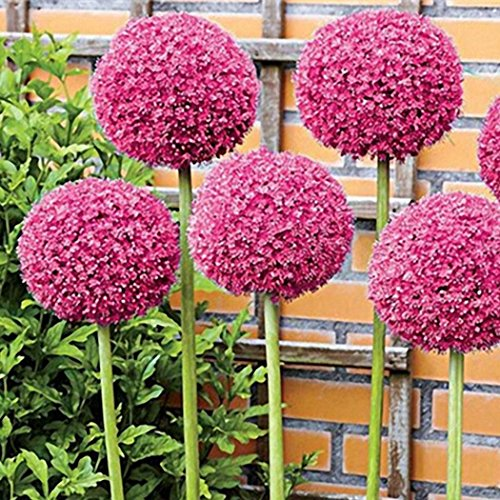 Qenci Seeds - 30 PCS Allium giganteum Seeds Adorable Flower Fragrant Blooms Large Flowered Scallion Seeds Flowers Bulbs