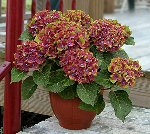 Hydrangea Pistachio, 3 GAL by Garden Goods Direct