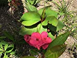 """Live Cactus Pink Crown of Thorns HUGE 12""""+H, Euphorbia millii, ROOTED succulent Shade tolerant Dark Pink"""