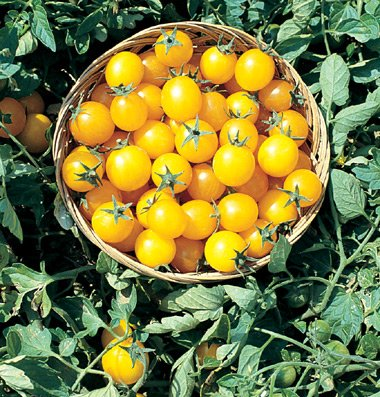 Organic Gold Nuggett Cherry Tomato 30+ seeds