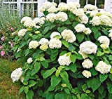 Annabelle Smooth Hydrangea - Live Plant - Quart Pot