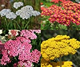 David's Garden Seeds Collection Set Flower Achillea Yarrow Open Pollinated 7337 (Multi) 4 Varieties 1900 Seeds (Non-GMO, Open Pollinated)