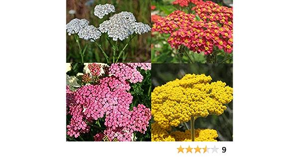 400 millefolium de Achillea Semillas Semillas Yarrow Cerise Queen de flores