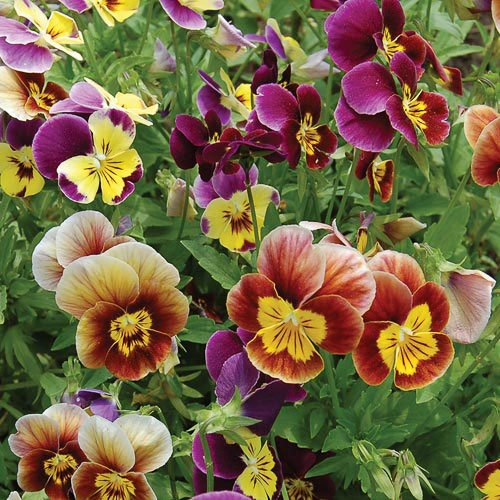 Fresh 2000 seeds - Viola Bambini Flower Seed