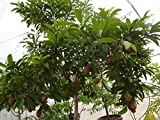 Manilkara zapota Tree Seeds,Jamaican Naseberry SAPODILLA,Grow Indoor/Outdoor