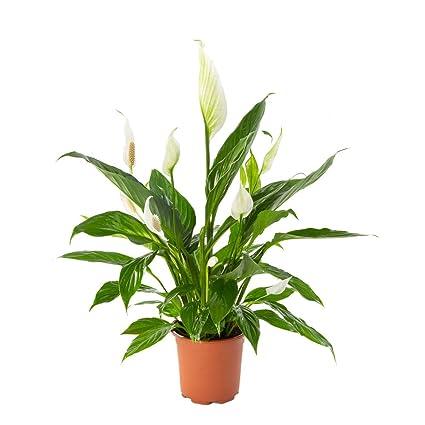 AIRY Einblatt Zimmerpflanze, Spathiphyllum (17 cm Topf). Verbessert ...