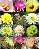 CORYPHANTHA MIX fragrant beehive cactus flower blooming cacti succulent 50 seeds