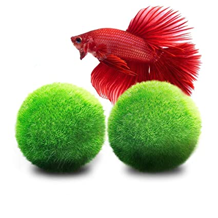 2 Luffy Betta Ball: Live round-shaped Marimo Planta para peces Betta. Natural