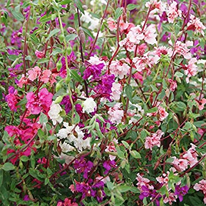 Amazon clarkia seeds mixed ounce pinklavenderwhite clarkia seeds mixed ounce pinklavenderwhite flowers mightylinksfo