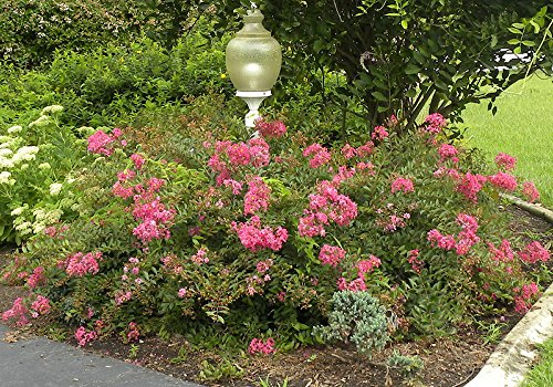 WORLD'S FAIR MINIATURE CRAPE MYRTLE, 1 Plant, Tiny Fuchsia-Red Flowers, ORIGINAL Variety Invented by The Crape Myrtle Company, Matures 2ft, Ships 6-12inches (Well Rooted in Pot with Soil)