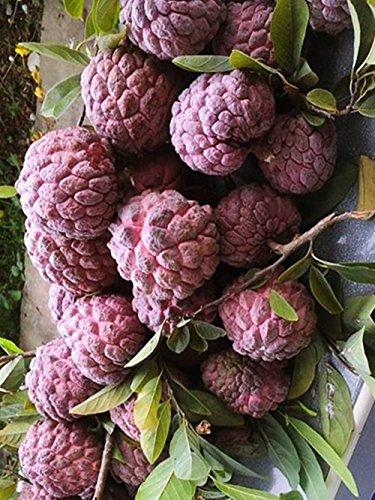 Annona Squamosa Sugar - Thai Red Annona Sugar Apple 10 Seeds ThailandMrk