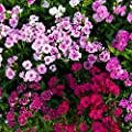 Telstar F1 Series Flower Seeds - Multi-Color Mix - Annual Flower Garden Seeds - Dianthus chinensis x barbatus